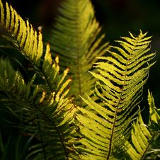 Free Buckler Fern Royalty Free Stock Images - 9902009