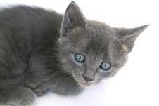 Free Grey Kitten Royalty Free Stock Images - 9902469