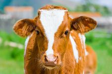 Free Young Calf Stock Photo - 9902830