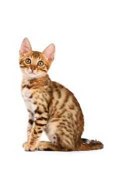 Free Bengal Kitten Stock Photography - 9903372