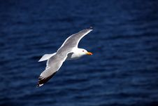 Free Seagull2 Stock Images - 9903924