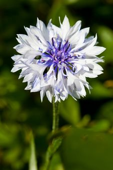 Free Corn Flower In Closeup In The Garden Royalty Free Stock Photography - 9903957