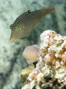 Indo-West Pacific Pufferfish Stock Photos
