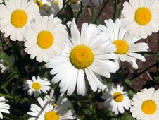 Free Camomile Flowers In A Garden Stock Image - 9905121
