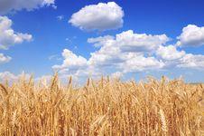 Free Yellow Grain Stock Photography - 9905172