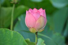 Free Pink Lotus Stock Image - 9905201