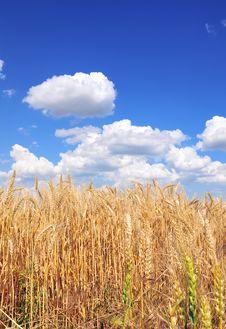 Free Yellow Grain Stock Image - 9905221