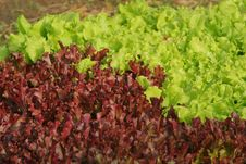 Free Red And Green Leaf Lettuce Royalty Free Stock Images - 9905469