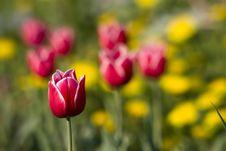 Free Bright Red Tulip Royalty Free Stock Photos - 9906518