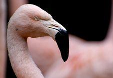 Flamingo Head Royalty Free Stock Photography