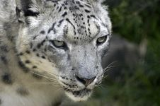Free Snow Leopard Royalty Free Stock Photography - 9908297