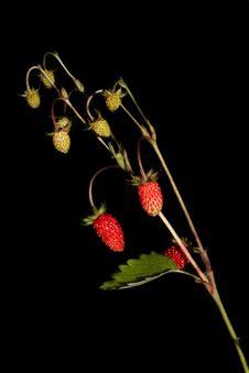Free Wild Strawberry Stock Photo - 9908530