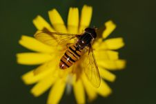 Free Insect, Honey Bee, Bee, Macro Photography Royalty Free Stock Image - 99000246