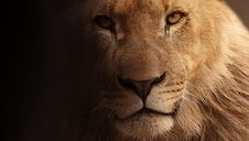 Free Lion, Face, Wildlife, Mammal Stock Image - 99002991