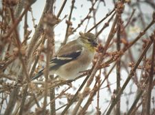 Free Cold Weather Goldfinch Stock Images - 99031654