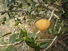 Free Food, Fruit, Plant, Citrus Stock Photography - 99031712