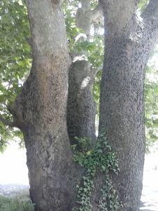 Free Plant, Wood, Tree, Terrestrial Plant Royalty Free Stock Photos - 99031808