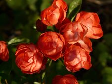 Free Flower, Floribunda, Garden Roses, Rose Family Royalty Free Stock Photo - 99033955