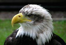 Free Beak, Bird Of Prey, Eagle, Bird Royalty Free Stock Photo - 99036645