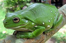 Free Ranidae, Amphibian, Frog, Toad Stock Photo - 99036980