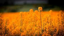 Free Yellow, Field, Wildflower, Rapeseed Royalty Free Stock Photography - 99038657