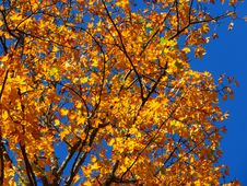 Free Tree, Branch, Autumn, Yellow Stock Image - 99038881