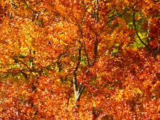 Free Autumn, Deciduous, Leaf, Tree Royalty Free Stock Image - 99038916