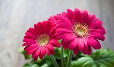 Free Flower, Pink, Gerbera, Flowering Plant Royalty Free Stock Image - 99038976