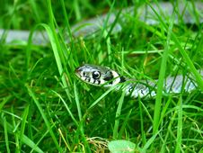 Free Grass, Reptile, Fauna, Organism Royalty Free Stock Images - 99039069