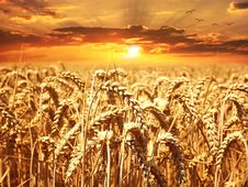 Free Wheat, Field, Grain, Food Grain Royalty Free Stock Image - 99041526