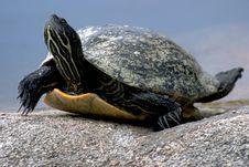 Free Turtle, Sea Turtle, Emydidae, Reptile Stock Image - 99045051