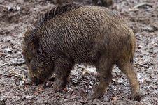 Free Pig Like Mammal, Pig, Wild Boar, Mammal Stock Image - 99048711