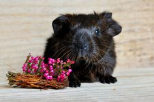Free Fauna, Guinea Pig, Whiskers, Rodent Stock Photography - 99049962
