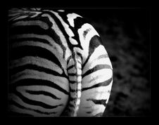 Free White, Black, Black And White, Mammal Stock Image - 99050051