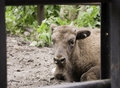 Free Young European Bison Royalty Free Stock Image - 9910976