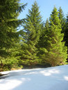 Free Pine Trees And Snow Royalty Free Stock Photography - 9918597