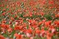 Free Poppy Bloom Royalty Free Stock Photos - 9919658