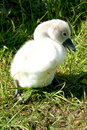 Free Little Swan Chick Royalty Free Stock Photos - 9919678