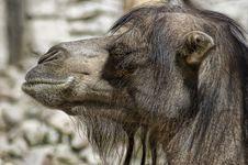 Free Smiling Camel Stock Image - 9910091