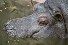 Free Sleeping Hippopotamus Stock Photography - 9910122