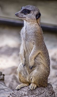 Free Portrait Of A Suricate Stock Images - 9910264