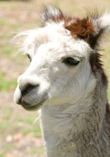 Close Up Of A Lama Stock Image