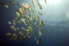 Free Ocean And Orbicular Spadefish Stock Images - 9910324