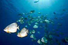 Free Ocean And Orbicular Spadefish Stock Photos - 9910333