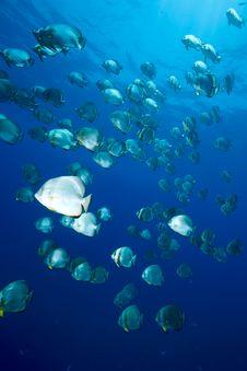 Free Ocean And Orbicular Spadefish Royalty Free Stock Photo - 9910345