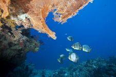 Free Ocean And Orbicular Spadefish Royalty Free Stock Photos - 9910358