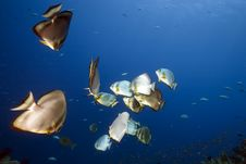 Free Ocean And Orbicular Spadefish Royalty Free Stock Photography - 9910367