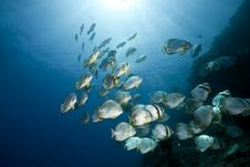 Free Ocean And Orbicular Spadefish Royalty Free Stock Photography - 9910377