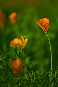 Free Yellow Poppies In Field Stock Image - 9910731