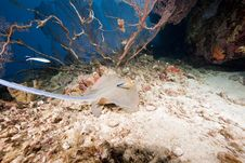 Free Ocean And A Bluespotted Stingray Stock Photo - 9911070